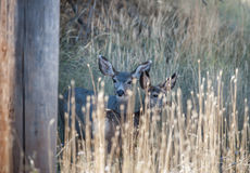 Mother and fawn mule deer Stock Photos