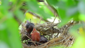 Mother feeding baby birds stock video footage