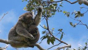 Mother feeding and a baby koala looking at the camera