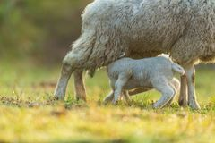 Mother feeding young lambs on pasture, early morning in spring. Symbol of spring and newborn life royalty free stock photos