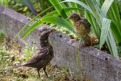 Mother feeds her chick. Common blackbird. Turdus merula. Animalistic. A photo of wild animals in a natural habitat. Photohunting stock image