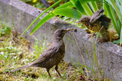 Mother feeds her chick. Common blackbird, Turdus merula. A photo of wild animals in a natural habitat. Photohunting. Mother feeds her chick. Common blackbird royalty free stock images