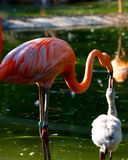 Mother flamingo feeding baby flamingo Royalty Free Stock Image
