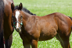 Mother and Foal Royalty Free Stock Image