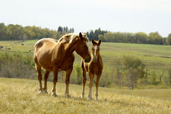 Mother and foal Stock Images