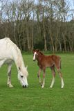 Mother and Foal Royalty Free Stock Photos