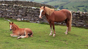Mother and Foal stock photography