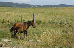 Mother and foal in land, Cádiz Royalty Free Stock Photo