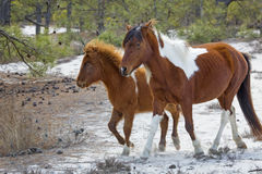 Mother and foal in sandy woods on Assateague Island, Maryland. Stock Photography