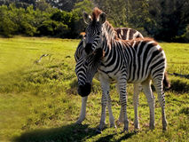 Mother & foal Zebra's1 Royalty Free Stock Photos