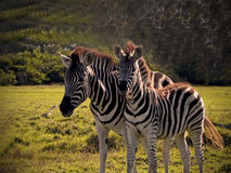 Mother & foal Zebra's2 Stock Photos