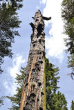 Mother of the forest. A dead sequoia tree at Calaveras Big Trees State Park stock images