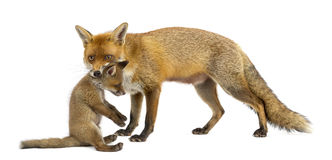 Mother fox carrying her cub (7 weeks old) Royalty Free Stock Photos