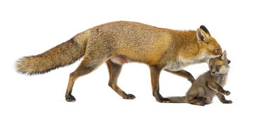 Mother fox carrying her cub (7 weeks old) Stock Photo