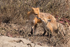 Mother fox greeting kit Royalty Free Stock Photos