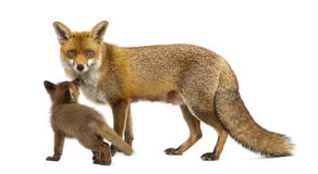 Mother fox with her cub (7 weeks old) Royalty Free Stock Photography
