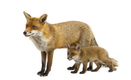 Mother fox with her cub (7 weeks old). In front of a white background stock photos