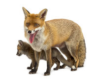Mother fox with her cub (7 weeks old) Royalty Free Stock Image