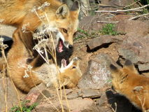 Mother Fox and Kits. The fox children needed some discipline Royalty Free Stock Photos