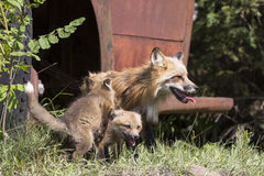 Mother fox and kits. By old abandoned truck Royalty Free Stock Photo