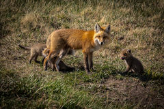 Mother fox and kits in the wild Stock Photos