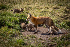 Mother fox and kits in the wild. S of the Rocky Mountains in Alberta Canada Royalty Free Stock Photography