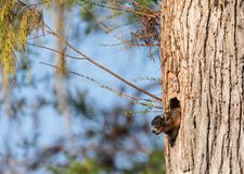Mother Fox squirrel Sciurus niger peers out of its nest made from the hole in a tree stock photos