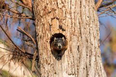Mother Fox squirrel Sciurus niger peers out of its nest made from the hole in a tree stock images