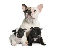 Mother French Bulldog and her puppies (1 year old Royalty Free Stock Images