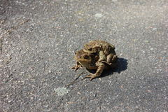 Mother frog carries baby frog - front  Royalty Free Stock Photo