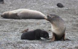 Mother fur seal with pup Stock Photos