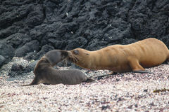 Mother Galapagos Sea Lion Kissing Baby. Mother and baby Galapagos sea lion, Zalophus wollebaeki, kissing on beach with black lava rocks in background Stock Photo