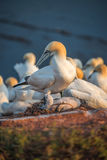 Mother gannet takes care of her chick at Helgoland island in Nor Stock Photos