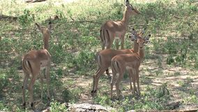 Mother gazelle and her young grazing under trees stock video footage