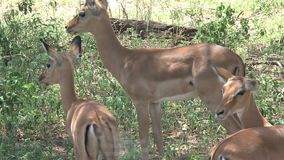 Mother gazelle and her young grazing under trees stock video