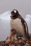 Mother Gentoo Penguin with Her Babies in Antarctica Royalty Free Stock Images