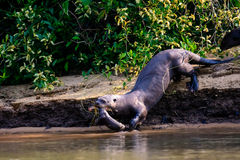 Mother Giant otter with pup. In her mouth Royalty Free Stock Photo