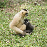 Mother Gibbon and baby Royalty Free Stock Photo