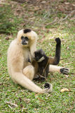 Mother Gibbon and baby Stock Image