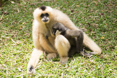 Mother Gibbon and baby Royalty Free Stock Image
