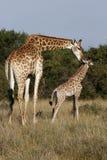 Mother Giraffe Stock Images