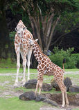 Mother giraffe with baby Stock Photo