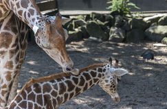Mother giraffe care for the young one Royalty Free Stock Images