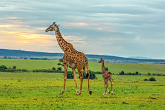 A mother giraffe with her baby Royalty Free Stock Photos