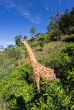 Mother giraffe Stock Photography