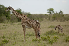 Mother giraffe and kid  in Kenya Royalty Free Stock Images