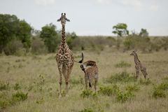 Mother giraffe and kid  in Kenya Stock Photography