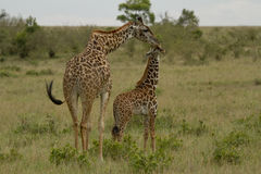 Mother giraffe and kid  in Kenya Stock Images
