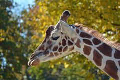 Mother Giraffe Royalty Free Stock Photos