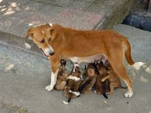 Free Mother Gives Milk To Her Puppies Royalty Free Stock Photography - 159604657